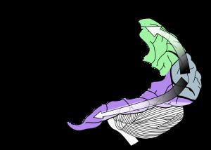Visual Cortex Diagram courtesy Wikipedia