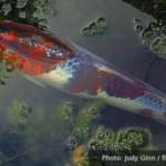 Koi Pond (Poem Online)
