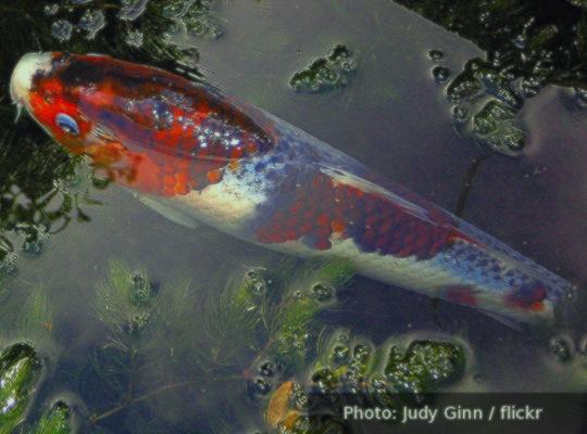 Koi pond poem online robert peake for Koi ponds near me