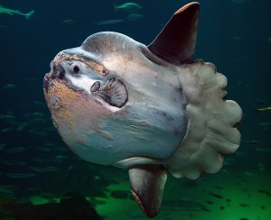 the sunfish, around whom / jellyfish revolve like planets